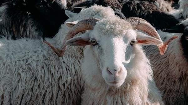 шерстяное одеяло из овчины